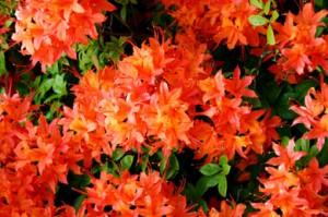 рододендрон гибридный Феерверк rhododendron hybrida Feuerwerk