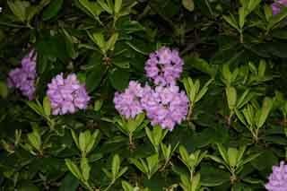 рододендрон гибридный Катевбинзе Бурсо rhododendron hybrida Cartawbiense Boursault