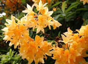 рододендрон гибридный Клондайк rhododendron hybrida Klondyke
