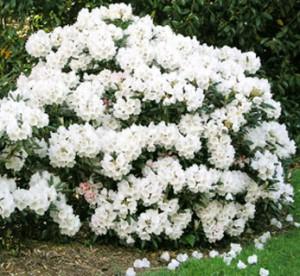 рододендрон гибридный Кунингамс Вайт rhododendron hybrida Cunningham's White