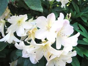 рододендрон гибридный Шнеекроне rhododendron hybrida Shneekrone