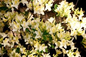 рододендрон гибридный Шнеголд rhododendron hybrida Schneegold